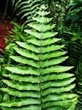 Green Fern Hawaii Island Royalty Free Stock Photos