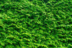 Green fern hedge. Thick green fern hedge background Royalty Free Stock Photography