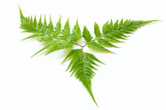 Fern Isolated on White Background Stock Photography