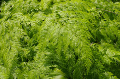 Green Fern. In jardiniere for garden Royalty Free Stock Images