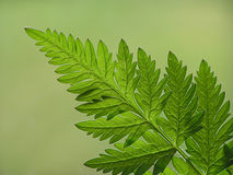 Green fern leaf royalty free stock image