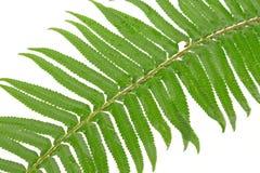 Green fern leaf Stock Photos