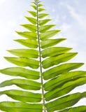 Green fern leaf Royalty Free Stock Photo