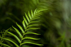 Green Fern Leaf Royalty Free Stock Photography