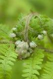 Green fern leaf buds Royalty Free Stock Photos