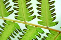 Green fern leaf with dot of spore plant in tropical forest. Nature background of Green fern leaf with dot of spore plant in tropical forest Stock Photos