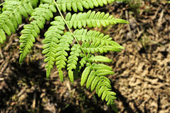 Green fern leaf in the forest Stock Image