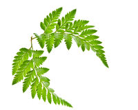 Green fern leaf isolated Royalty Free Stock Photography