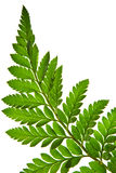 Green fern leaf isolated Stock Photos