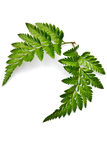 Green fern leaf isolated Royalty Free Stock Photos