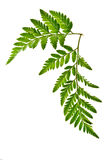 Green fern leaf isolated Stock Image