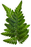 Green fern leaf isolated Stock Images