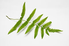 Green fern leaf isolated on white. Leaves isolated on white background Stock Photo
