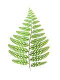 Green fern leaf isolated on white. Vector illustration Royalty Free Stock Photo