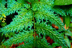 Green fern leaf in the jungle Royalty Free Stock Photos