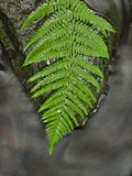 Green fern leaf on mossy stone below increased water level.   Royalty Free Stock Image
