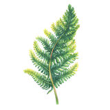 Green fern leaf. Polypodiopsida. Polypodiopsida. Green fern leaf. Polypodiopsida. Hand drawn watercolor painting on white background Stock Image