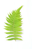 Green fern leaf. On a white background Royalty Free Stock Photo