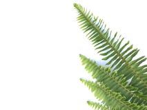 Green fern leaf on white background. Stock Photo