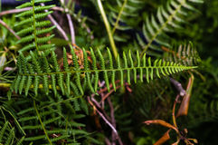 Green fern leaf in the woods Royalty Free Stock Image