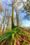 Green fern with leafless tree in an early winter morning Royalty Free Stock Images