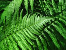 Green fern leafs background Royalty Free Stock Photo