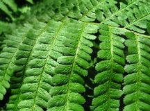 Green fern leafs background Royalty Free Stock Image