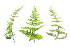 Green Fern leafs isolate on white background Royalty Free Stock Image