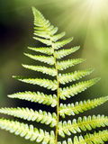 Green Fern Leave Royalty Free Stock Image