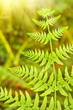 Green Fern Leave Stock Images