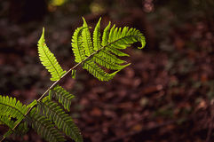 Green fern leave foliage natural fern background with sunlight Royalty Free Stock Photos