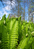 Green fern leaves Stock Image