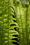 Green fern leaves Royalty Free Stock Photos