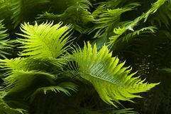 Green fern leaves Stock Images