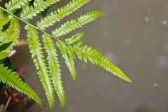Green fern leaves Royalty Free Stock Image