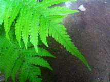 Green fern. Leaves Royalty Free Stock Photography