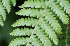 Green Fern Leaves. Close up of the intricate leaves of a fern plant Stock Photography