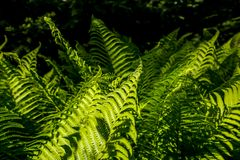 Green fern leaves as background royalty free stock images