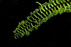 Green fern leaves  on black background. Close up of green fern leaves  on black background Stock Images