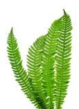 Green fern leaves  Blechnum spicant Stock Images