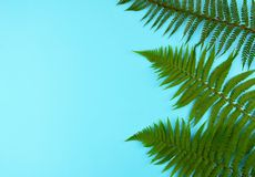 Green fern leaves on blue background. Green fern leaves on blue background with copy space Stock Photo