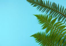 Green fern leaves on blue background. Green fern leaves on blue background with copy space Stock Image