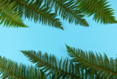 Green fern leaves on blue background. Green fern leaves on blue background with copy space Royalty Free Stock Photos