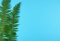 Green fern leaves on blue background. Green fern leaves on blue background with copy space Royalty Free Stock Photo