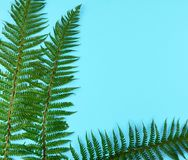 Green fern leaves on blue background. Green fern leaves on blue background with copy space Royalty Free Stock Photography