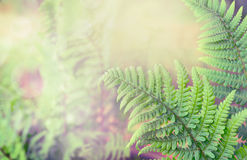 Green fern leaves on blurred nature background Royalty Free Stock Photo