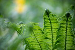 Green fern leaves close-up Blurred natural background royalty free stock photo