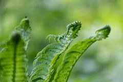 Green fern leaves close-up Blurred natural background royalty free stock images