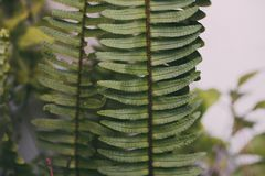 Green fern leaves. Close up view of natural fern leaf background and texture.
