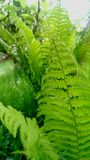 Green fern leaves Royalty Free Stock Images